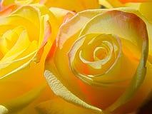 Яркие желтые розы Стоковое фото RF