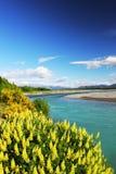 Яркие желтые цветки зацветая вдоль реки Waimakariri Стоковые Изображения RF
