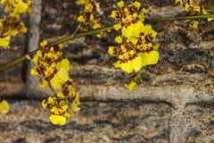 Яркие желтые цветки орхидеи Oncidium против Precast цемента Wal Стоковая Фотография RF