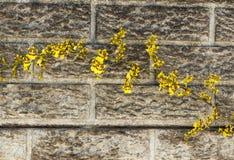 Яркие желтые цветки орхидеи Oncidium против Precast цемента Wal Стоковое Фото
