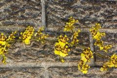 Яркие желтые цветки орхидеи Oncidium против Precast цемента Wal Стоковые Изображения RF
