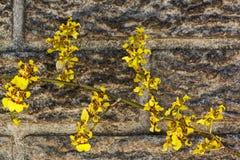 Яркие желтые цветки орхидеи Oncidium против Precast цемента Wal Стоковые Изображения