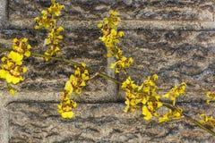 Яркие желтые цветки орхидеи Oncidium против Precast цемента Wal Стоковое фото RF