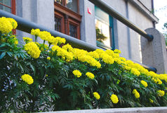 Яркие желтые цветки с деревянными входными дверями стоковые фото