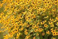 яркие желтые цветы светят от коричневого глаза Susan Стоковое фото RF