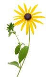 Яркие желтые rudbeckia или чернота наблюдали цветки Сьюзана стоковые изображения rf