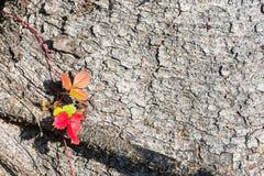 Яркие листья одичалой клубники на предпосылке расшивы старой Стоковая Фотография RF