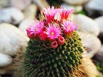 Яркие и красивые цветки кактуса стоковое изображение rf