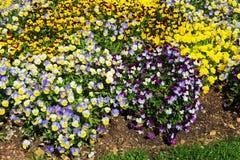 Яркие и красочные pansies и альты в flowerbed Стоковое Фото