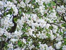 Яркие красивые ветви яблока в florescence стоковые изображения rf