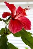 Яркие красные гибискусы цветут с зеленой листвой на белой предпосылке стоковые изображения
