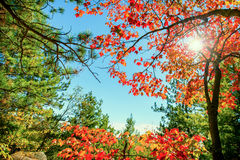 Яркие красные листья осени в свете Солнця Стоковая Фотография