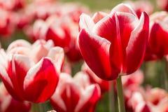 Яркие красные и белые тюльпаны Голландия Мичиган Стоковые Фотографии RF