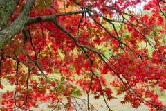 Яркие красные листья осени дерева клена стоковая фотография rf