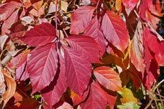 Яркие красные листья Creeper Вирджинии стоковое фото