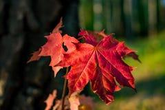 Яркие красные лист молодого клена стоковая фотография rf