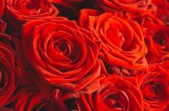 Яркие красные розы близко Стоковое Изображение RF