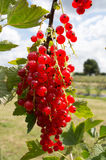 Яркие красные смородины на Буше Стоковая Фотография