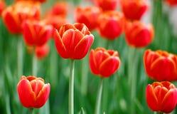 Яркие красные тюльпаны Стоковые Изображения RF