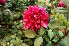 Яркие красные цветки в саде Стоковое Изображение