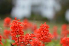 Яркие, красные цветки стоковые фотографии rf