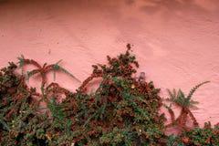Яркие красные ягоды кустарника падуба, комплекта против розовой стены Стоковые Фотографии RF