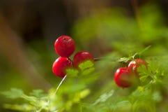 Яркие красные ягоды Стоковое Изображение RF