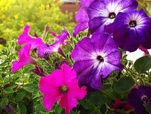 Яркие красочные петуньи на балконе Стоковые Фото