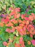 Яркие кусты осени в перми стоковое изображение rf