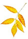 яркие листья Стоковая Фотография RF