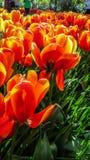 Яркие лоснистые красные тюльпаны стоковое фото rf