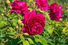 Яркие малиновые цветки красной розы Стоковое Изображение