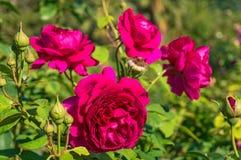 Яркие малиновые цветки красной розы Стоковые Фотографии RF