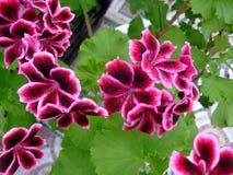 Яркие малиновые цветки в botаnical саде Стоковые Изображения