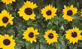 Яркие небольшие солнцецветы со свежими зелеными листьями Милый взгляд сверху солнцецветов Цветки лета зацветая r стоковые изображения rf