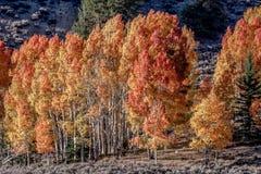 Яркие оранжевые деревья осин стоковые фотографии rf