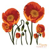 Яркие оранжевые маки Стоковые Изображения