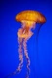 Яркие оранжевые медузы в темносинем океане стоковое изображение rf