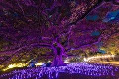 Яркие освещение фестиваля Сиднея 2016 светлое дерева евкалипта Стоковая Фотография RF