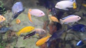 Яркие пестротканые малые тропические рыбы в аквариуме сток-видео