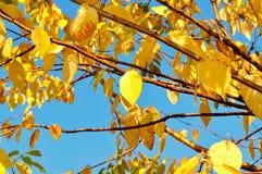 Яркие пожелтетые листья вишневого дерева птицы против голубого неба - предпосылки осени Стоковое Изображение