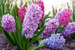 Яркие покрашенные гиацинты в цветени Стоковые Фото