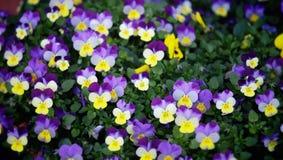 яркие покрашенные multi pansies Стоковое Изображение