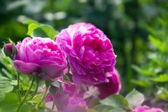Яркие розовые розы в саде Стоковые Фотографии RF