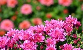 Яркие розовые хризантемы Стоковая Фотография RF
