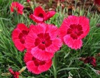 Яркие розовые цветки в цветени Стоковые Фотографии RF