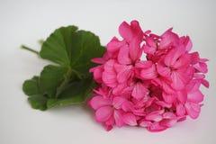 яркие розовые цветки на белой предпосылке Стоковое фото RF