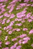 Яркие розовые цветки Стоковая Фотография