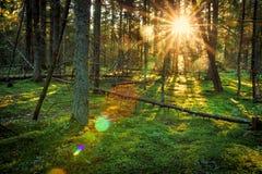 Яркие солнечные лучи в зеленом ландшафте леса весны леса утра на восходе солнца природа предпосылки сценарная Естественное полесь Стоковое Изображение