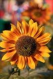 яркие солнцецветы Стоковые Изображения